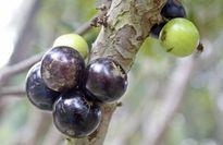 Độc đáo cây trĩu quả ở Hội hoa xuân