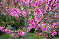 Xuân về ngắm hoa đào qua mọi miền Tổ Quốc