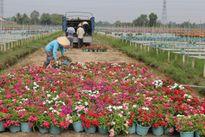 Nhộn nhịp chợ hoa cù lao Phố ngày cận Tết