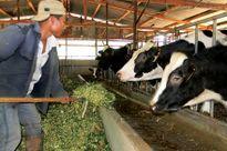 Việt Nam vào TPP Bò sữa Lâm Đồng bước vào 'sân chơi' mới