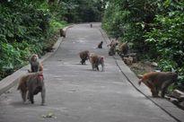 Thăm đảo có ngàn con khỉ chết để cứu người giữa Bái Tử Long