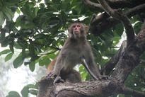 """""""Chúa đảo Khỉ"""" kể chuyện khỉ yêu"""