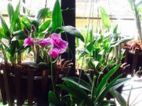 Hà Nội: Hoa quý hội tụ trên 'vườn treo' sân thượng
