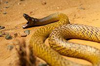 Loài rắn cực độc đủ sức hạ gục 100 người trong nháy mắt