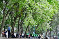 Hoa sưa nở trắng muốt trên phố Hà Nội
