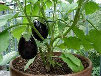 Cách trồng cà tím tại nhà cho quả bự, sai, dài