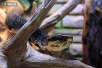 Rắn hổ mang cá vs rắn đuôi chuông: Cuộc chiến không cân sức!