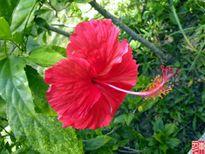 'Thoát nạn' đau buốt vì sỏi thận nhờ bài thuốc quý từ hoa dâm bụt