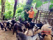 Anh Sơn: Phát triển mô hình nuôi dê thả đồi