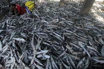 Nhìn những hình ảnh này ai còn dám ăn vây cá mập