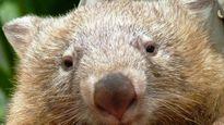 Gấu túi chết vì nhớ khách du lịch