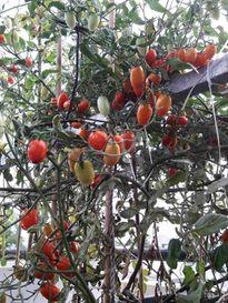 Cô gái Sài Gòn trồng 2 cây cà chua bi thu hoạch 700 quả