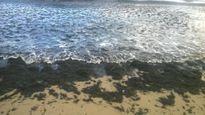 Lý giải hiện tượng rong biển chết ồ ạt dạt vào biển Quảng Bình