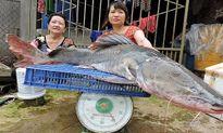 """Bắt được cá lăng """"khủng"""" nặng gần 40 kg ở Đắk Lắk"""