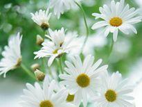 Hoa cúc - loại thảo mộc trị bệnh đa năng