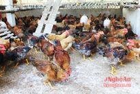 Hỗ trợ nuôi giống gà lông màu ở Quỳnh Lưu
