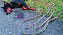 Chú chó trung thành cắn chết 4 con rắn độc, cứu sống 8 người