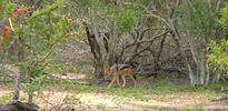 """Chó hoang châu Phi cậy đông """"đánh hội đồng"""" linh cẩu"""