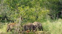 Sư tử chạy tót lên cây trốn loài linh cẩu