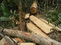 Tướng Biên phòng vượt rừng kiểm tra rừng pơ mu bị tàn phá