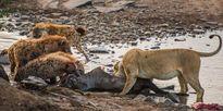 """Sư tử """"ỷ mạnh hiếp yếu"""" cướp thịt linh cẩu chột mắt"""