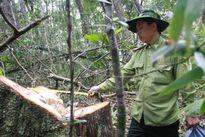 Vụ phá rừng Pơ mu: Tướng Biên phòng thị sát hiện trường