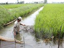 Mô hình canh tác lúa - tôm cần hướng đến tính bền vững