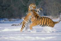 Nổi nóng khi giao phối, hổ cái bị bạn tình giết chết