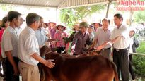 Khuyến nông tỉnh trao tặng bò giống dự án cho hộ nghèo ở Yên Thành