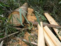 Vụ phá rừng pơmu: Lào xác nhận lâm tặc phá rất dữ
