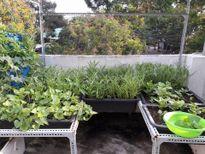 Ông bố trẻ Đà Nẵng: Mỗi ngày bớt trà đá, trà chanh là đủ trồng rau