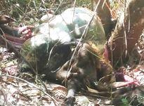 Vụ sát hại bò tót trong khu bảo tồn: 3 cha con đều bị khởi tố