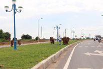 Đường 2.300 tỷ 'đắp chiếu' sau 2 tháng thông xe, thành bãi chăn thả trâu bò
