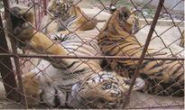 100% cơ sở gây nuôi thương mại nhập lậu động vật hoang dã