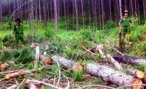 Điều tra doanh nghiệp thuê người triệt hạ rừng phòng hộ xung yếu