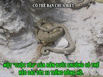 ĐỘC-LẠ: Cuộc yêu của rắn đuôi chuông dài 22 tiếng, 'đá sát sinh' có thật