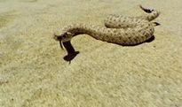 Bạn có tin mình sẽ bị giết bởi một con rắn... đã chết?