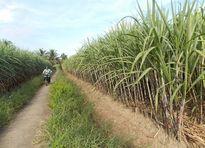 Liên kết sản xuất mía đường ở ĐBSCL