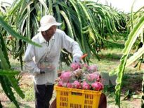 Cà Mau khuyến cáo nông dân không trồng thanh long ồ ạt