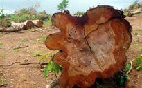 Cưa rừng trồng cao su ở Bình Phước: Dân nghi khuất tất?