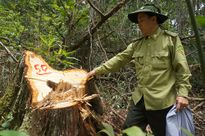 Tin nóng: Sắp họp báo công bố về vụ phá rừng pơ mu tại Quảng Nam