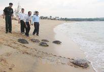 Cần khởi tố đối tượng trộm 116 trứng vích tại Côn Đảo