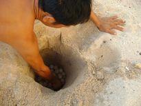 Đề xuất khởi tố đối tượng trộm 116 trứng vích tại Côn Đảo