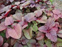 Nhuận tràng, thanh nhiệt, tăng huyết áp nhờ nguyên liệu có sẵn trong vườn nhà bạn