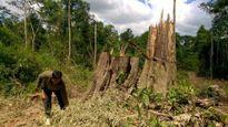 Bình Phước cưa rừng trồng cao su: Gỗ Bù Đốp rất quý