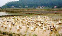 Nghệ An: Tiêu hủy gần 2.300 con gia cầm bị dịch cúm H5N1