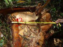 Khởi tố 9 đối tượng liên quan đến vụ phá rừng pơ mu ở Quảng Nam