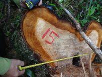 Quảng Nam: 'Mức độ tàn phá rừng pơmu là 'khủng khiếp'