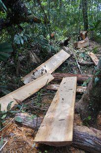 'Chưa thể kết luận có sự tiếp tay phá rừng pơ mu ở Quảng Nam'