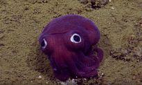 Cận cảnh loài mực ống màu tím kỳ lạ ở Mỹ